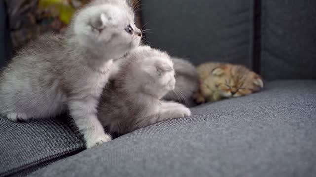 vídeos de stock e filmes b-roll de british shorthairs kitten cat - cultura britânica
