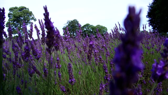british wild flowers blooming - lavender stock videos & royalty-free footage