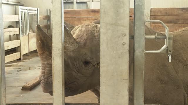 british-born black rhino being sent to tanzania to breed; england: north yorkshire: flamingo land resort: int black rhino 'chanua' in barn pen - 厚皮動物点の映像素材/bロール