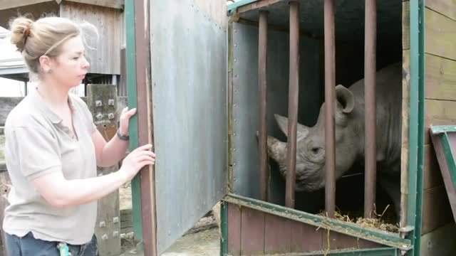 british-born black rhino being sent to tanzania to breed; england: north yorkshire: flamingo land resort: ext black rhino 'chanua' in travel crate... - 厚皮動物点の映像素材/bロール
