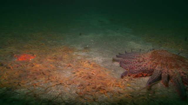 vídeos de stock e filmes b-roll de brittle stars move out of the way of a large sea star on the ocean floor. available in hd. - estrela do mar