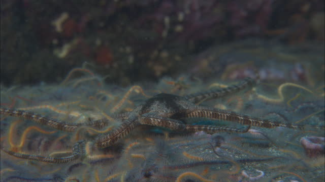 Brittle stars (Ophiurida) on sea bed, California, USA