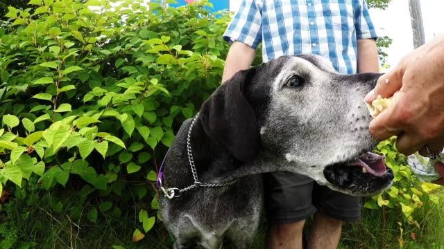 briva is a 12 year old great dane who has been a wonderful pet and family member. she is in her golden years and she has lost almost all of her... - canine stock videos & royalty-free footage