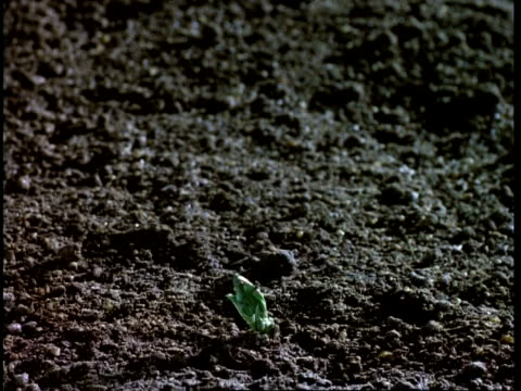 t/l - broad bean germination and growth cu - legume family stock videos and b-roll footage