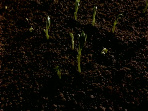 t/l broad bean seedlings germinate and growth, tilt up and over beans - bean stock videos & royalty-free footage