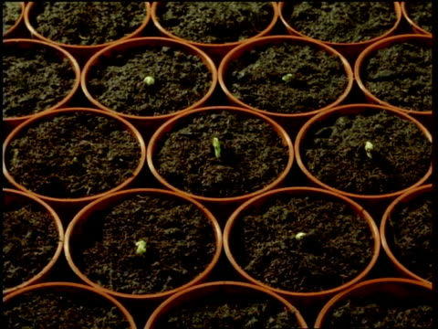 t/l broad bean seedlings germinate from individual pots - ripetizione video stock e b–roll