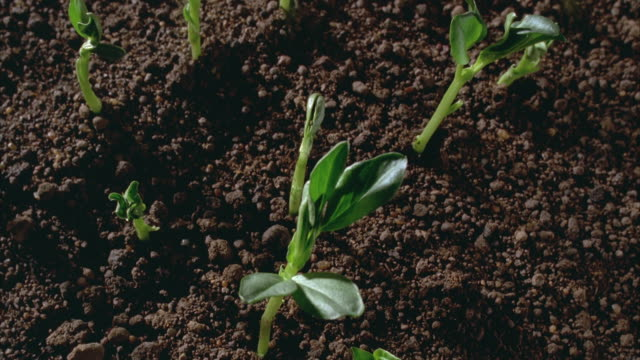 t/l, cu, broad bean seedlings sprouting in field, united kingdom - bean stock videos & royalty-free footage