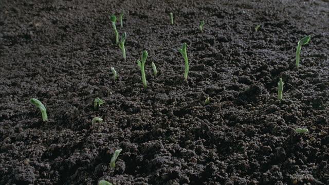 T/L, CU, Broad bean seedlings sprouting in field, United Kingdom