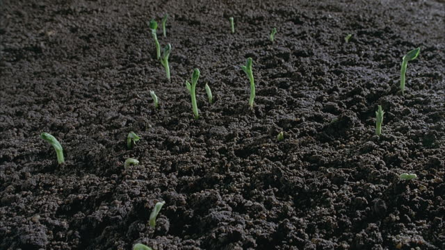 t/l, cu, broad bean seedlings sprouting in field, united kingdom - 苗点の映像素材/bロール