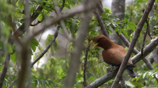 broad billed roller (eurystomus glaucurus) in forest, madagascar - compound interest stock videos and b-roll footage