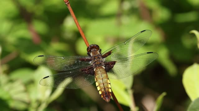 a broad-bodied chaser, libellula depressa, perching on a twig on a windy day. - twig stock videos & royalty-free footage
