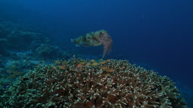 Broadclub cuttlefish and Anthias fish on staghorn hard coral