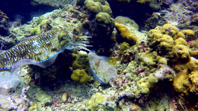 broadclub cuttlefish (sepia) cephalopod pair laying eggs - cuttlefish stock videos and b-roll footage