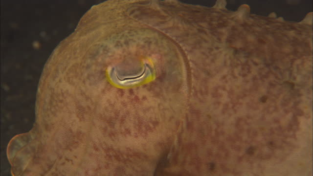 Broadclub cuttlefish Moving tracking. Indonesia