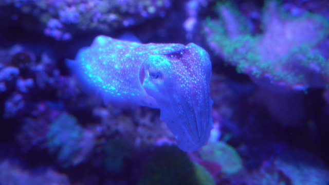 broadclub cuttlefish under neon light - cuttlefish stock videos & royalty-free footage