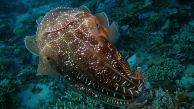 broadclub cuttlefish warns scuba diver to protect eggs - cuttlefish stock videos & royalty-free footage