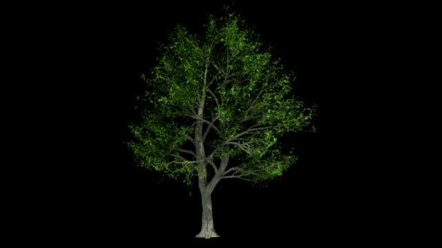 vidéos et rushes de animation arbre à feuilles larges, - film collage