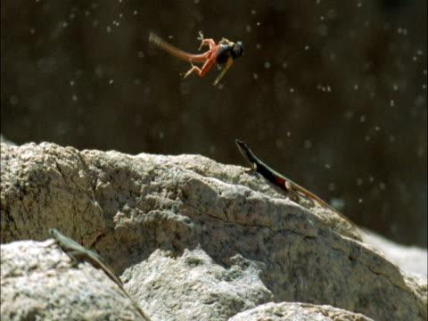broadley's flat lizards (platysaurus broadleyi) leap to catch flies, south africa - lizard stock videos & royalty-free footage