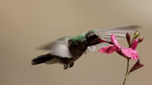 broad-tailed hummingbird feeds from pink flowers - ultra high definition television stock videos & royalty-free footage
