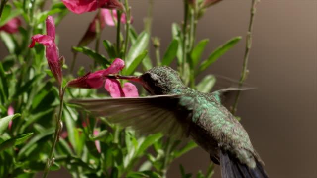 broad-tailed hummingbird feeds on pink flowers - kolibri stock-videos und b-roll-filmmaterial
