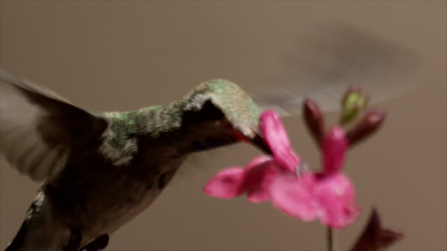 vídeos de stock, filmes e b-roll de a broad-tailed hummingbird forage and fly around pink flowers. - hummingbird