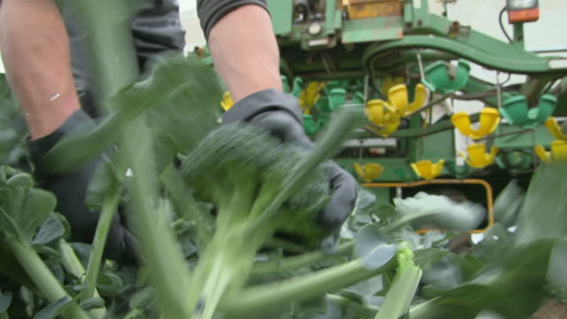 Broccoli being harvested by hand and processed by machine