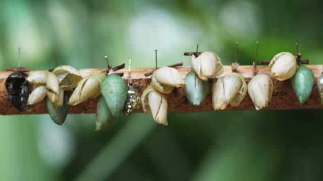broken butterfly cocoons pinned on a stick - 動物の色点の映像素材/bロール