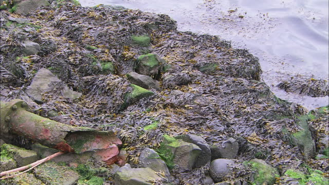 CU broken clay pipe on rocky riverbank, seaweed, lapping water, pollution, Northern Ireland