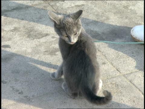 broll of grey kitten on boardwalk on a leash - pet leash stock videos and b-roll footage
