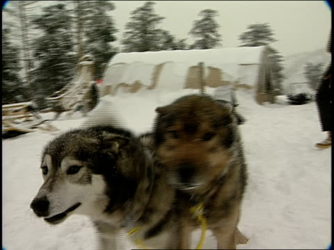 BRoll of Sled Dogs Barking and starting to pull sled