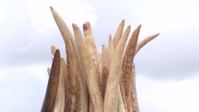 broll of the preparations to burn destroy more than 100 tons of elephant ivory and rhino horns in kenya - 象牙点の映像素材/bロール