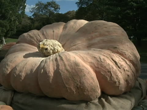 roll of world's largest pumpkin. a puffed-up pumpkin weighing nearly a ton rolled into the bronx, new york, after squashing the competition to be... - gourd stock videos & royalty-free footage