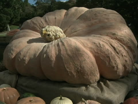 broll of world's largest pumpkin shot of giant pumpkin stem and body a puffedup pumpkin weighing nearly a ton rolled into the bronx new york after... - gourd stock videos & royalty-free footage