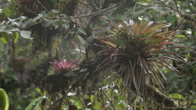 bromeliads in cloud forest, ecuador - moss stock videos & royalty-free footage
