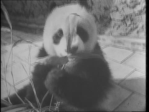 a bronx zoo official harry sweeney jr collects bamboo from an elderly woman's backyard / close up of woman miss mary bell / man collecting bamboo... - bronx zoo stock-videos und b-roll-filmmaterial