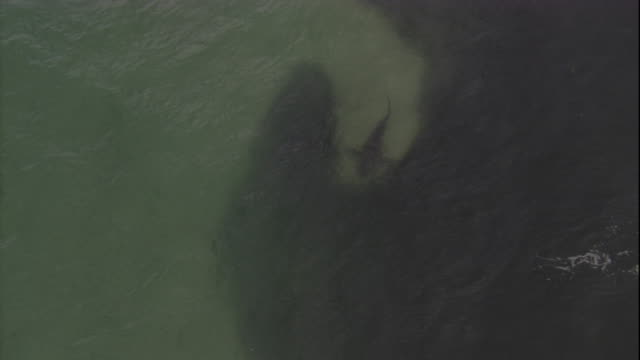 A bronze whaler shark preys on a dense bait ball. Available in HD.