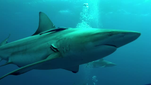 bronze whaler shark swimming past close up - caribbean reef shark stock videos & royalty-free footage
