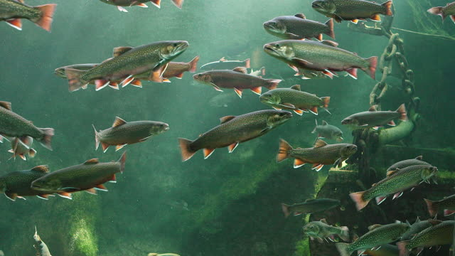 Brook Trout, salvelinus fontinalis, Real Time