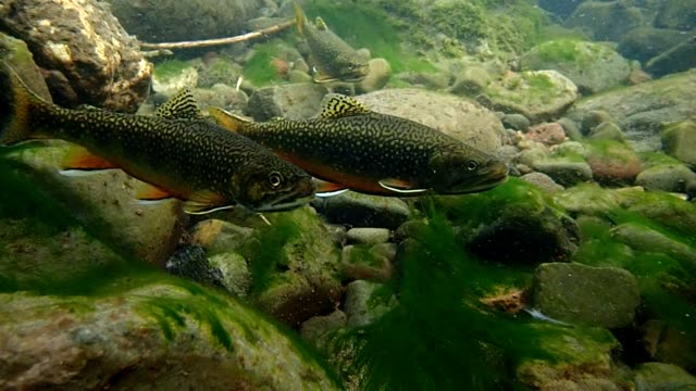 brook trout - trout stock videos and b-roll footage
