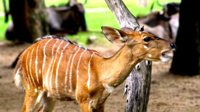 vídeos de stock, filmes e b-roll de sobrancelha antlered deer - reserva animal
