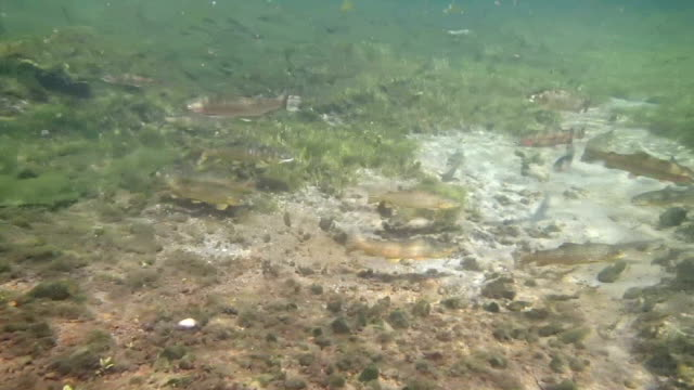 brown and rainbow trout - spawning stock videos and b-roll footage