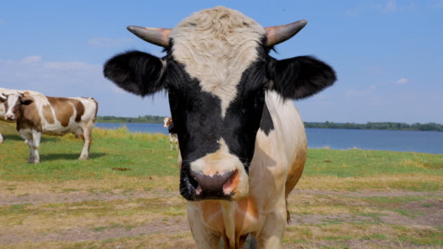 brown and white curious cow staring at the camera - cow stock videos & royalty-free footage