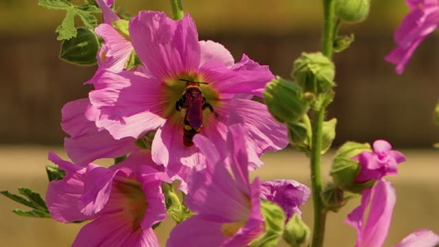 vidéos et rushes de a brown and yellow spotted wasp collects nectar inside a pink bristly hollyhock flower - extreme close up