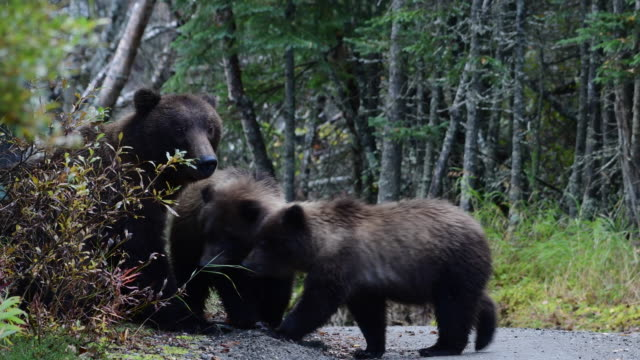 brown bear and cub - romania stock videos & royalty-free footage
