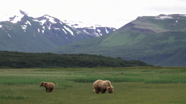 Brown Bear and cubs in big landscape, from coastal Alaska