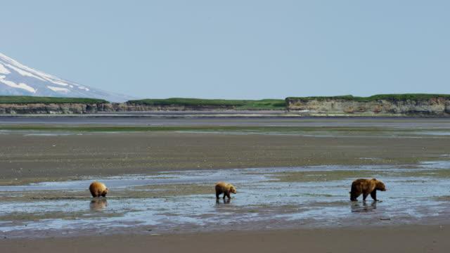 brown bear and cubs mt redoubt volcano alaska - alaska stato usa video stock e b–roll