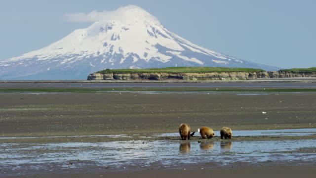 brown bear and cubs mt redoubt volcano katmai - alaska stato usa video stock e b–roll