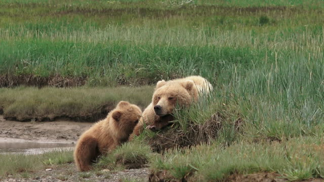 brown bear and cubs resting on river bank, from coastal alaska - three animals stock videos & royalty-free footage