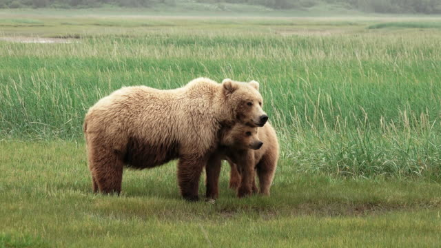vídeos de stock, filmes e b-roll de brown bear and cubs watch another bear, one cub seeks comfort, from coastal alaska - três animais
