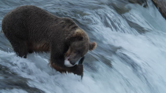 brown bear and salmon fish - failure stock videos & royalty-free footage